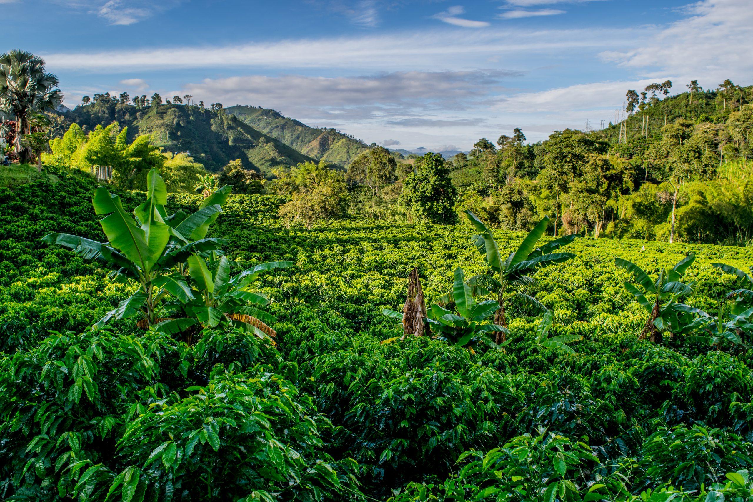 coffee-farm-2