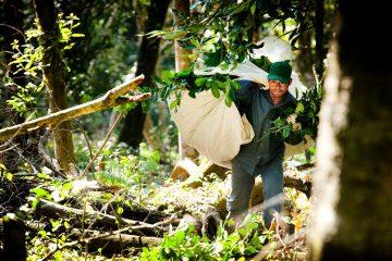 Harvesting herba mate