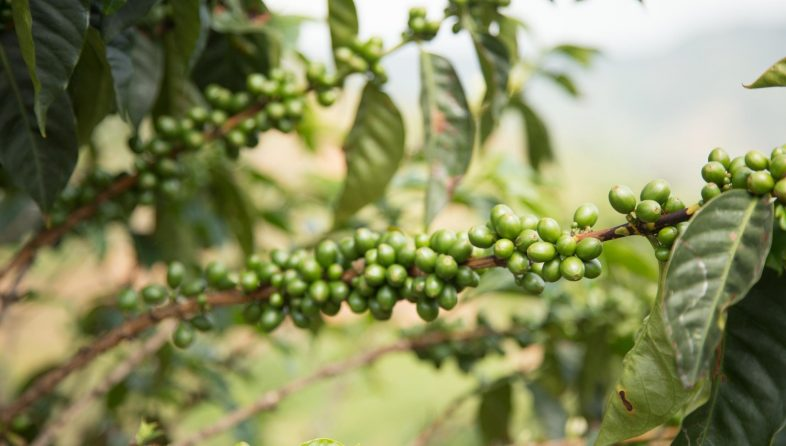 coffee-berries-on-branch