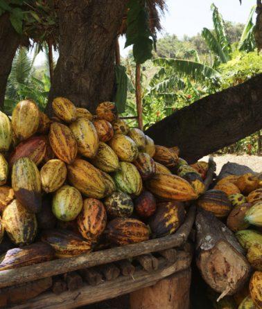 cocoa-pearl-cocoa-uganda