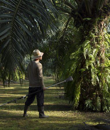 oil-palm-wild-asia