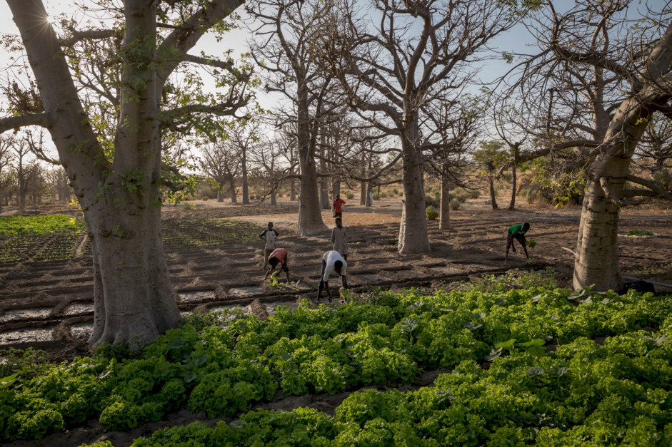 Figure 11 - A park landscape in Niger shows farmers cultivating crops among the baobab trees. Source: the Volkskrant, 2018.