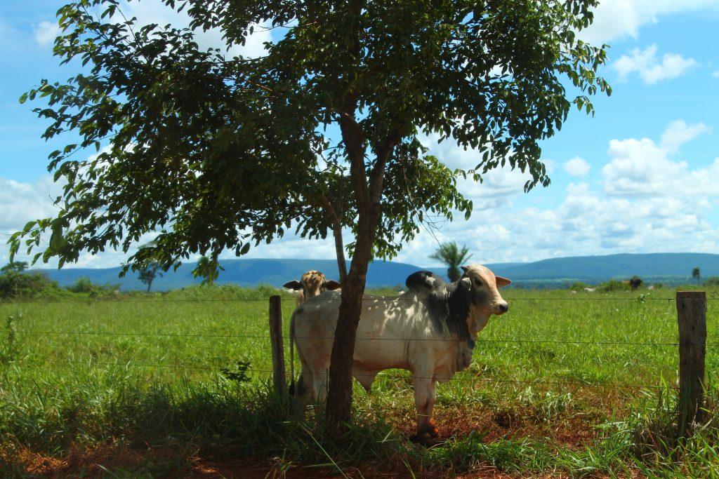 cow-under-tree