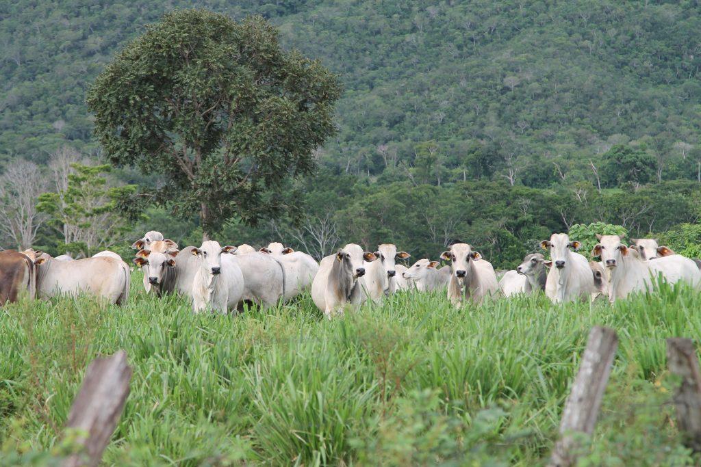 cows-grass-brazil-tree