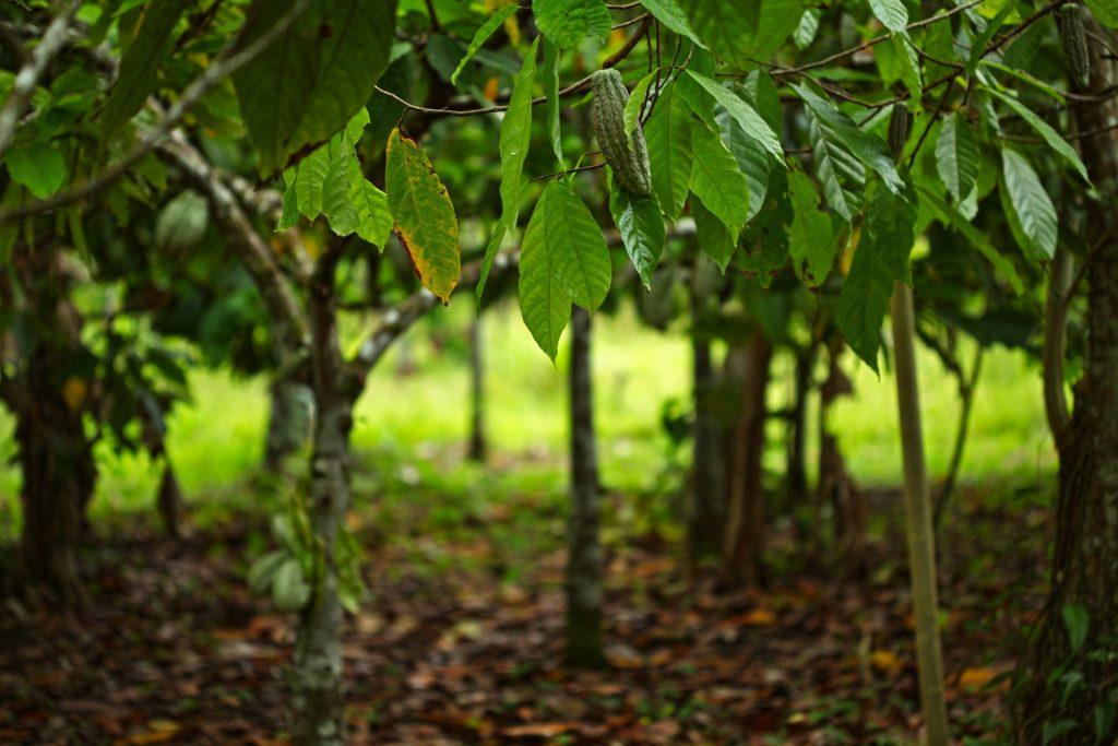 cocoa-trees